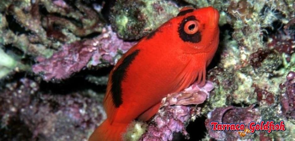 http://www.tarracogoldfish.com/wp-content/uploads/2013/08/Neocirrhites-armatus2.jpg