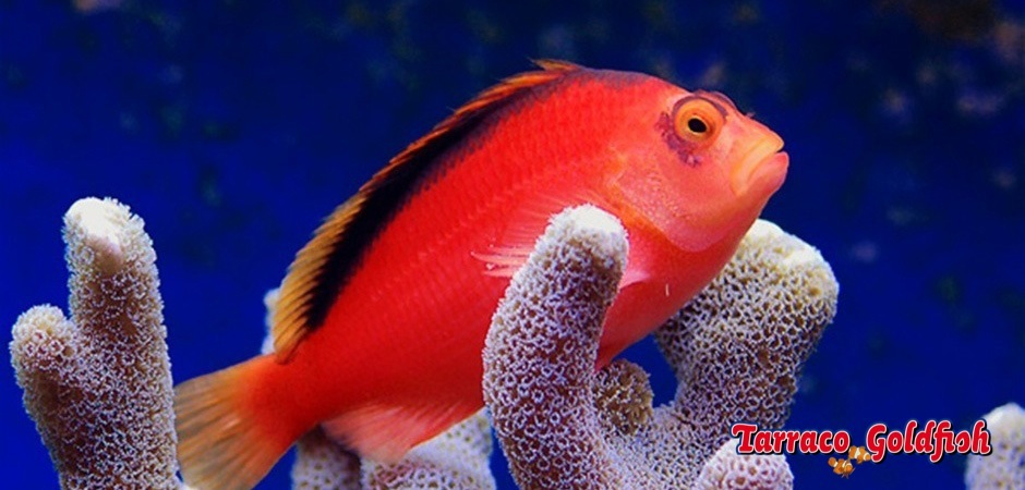 http://www.tarracogoldfish.com/wp-content/uploads/2013/08/Neocirrhites-armatus3.jpg