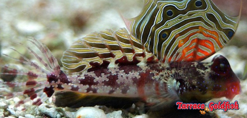http://www.tarracogoldfish.com/wp-content/uploads/2013/08/Neosynchiropus-Ocellatus-3.jpg