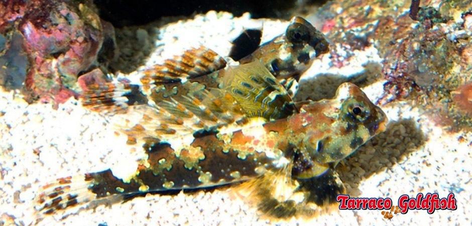 http://www.tarracogoldfish.com/wp-content/uploads/2013/08/Neosynchiropus-Ocellatus.jpg