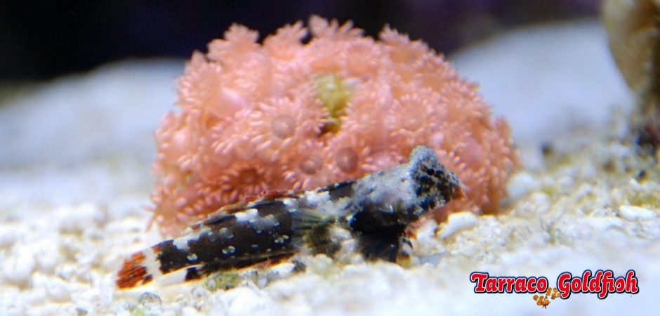 http://www.tarracogoldfish.com/wp-content/uploads/2013/08/Neosynchiropus-Ocellatus1.jpg