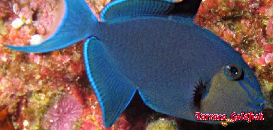 http://www.tarracogoldfish.com/wp-content/uploads/2013/08/Odonus-Niger-11.jpg