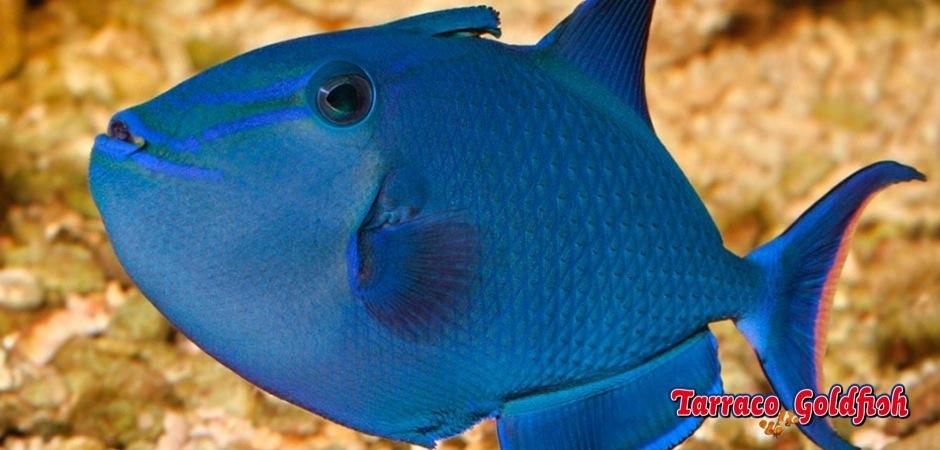 http://www.tarracogoldfish.com/wp-content/uploads/2013/08/Odonus-Niger-2.jpg