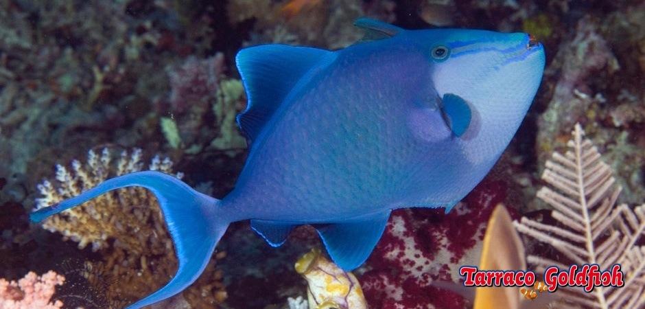 http://www.tarracogoldfish.com/wp-content/uploads/2013/08/Odonus-Niger-3.jpg
