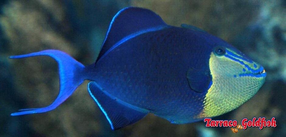 http://www.tarracogoldfish.com/wp-content/uploads/2013/08/Odonus-Niger-4.jpg