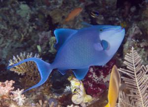 Odonus niger Redtooth triggerfish, Raja Ampat, West Papua IMG_2778
