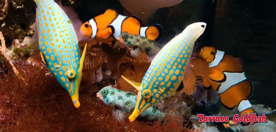 http://www.tarracogoldfish.com/wp-content/uploads/2013/08/Oxymonocanthus-longirostris.jpg