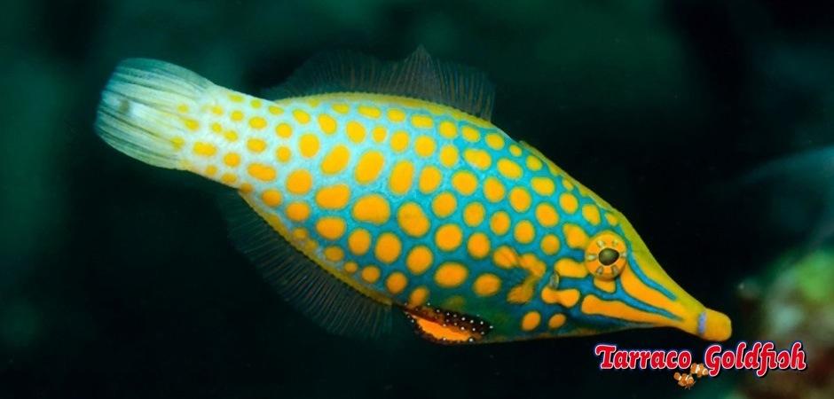 http://www.tarracogoldfish.com/wp-content/uploads/2013/08/Oxymonocanthus-longirostris01.jpg
