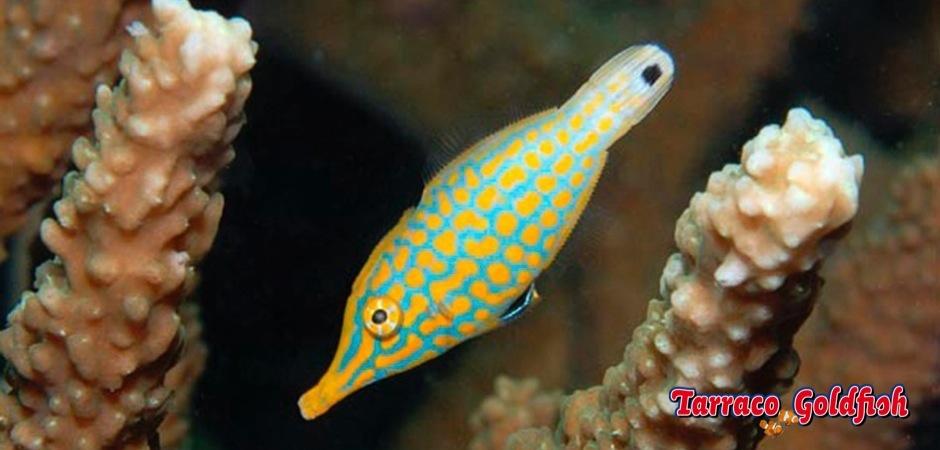 http://www.tarracogoldfish.com/wp-content/uploads/2013/08/Oxymonocanthus-longirostris2.jpg