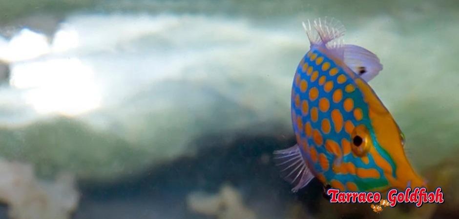 http://www.tarracogoldfish.com/wp-content/uploads/2013/08/Oxymonocanthus-longirostris6.jpg