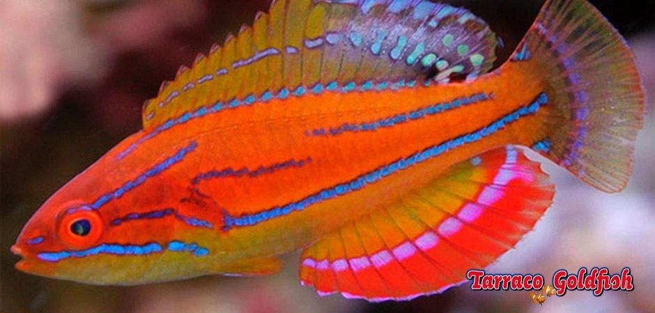 http://www.tarracogoldfish.com/wp-content/uploads/2013/08/Paracheilinus-Mccoskeri-1.jpg