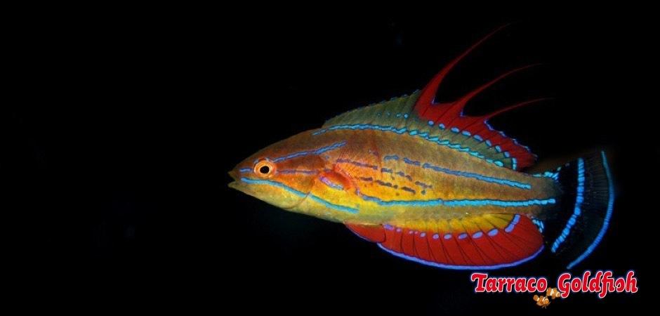 http://www.tarracogoldfish.com/wp-content/uploads/2013/08/Paracheilinus-Mccoskeri-22.jpg