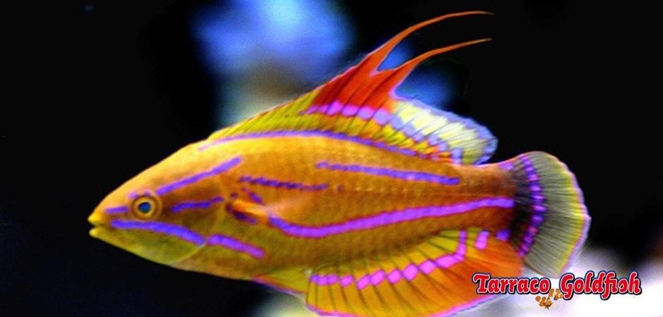 http://www.tarracogoldfish.com/wp-content/uploads/2013/08/Paracheilinus-Mccoskeri.jpg