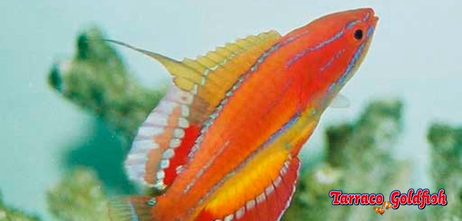 http://www.tarracogoldfish.com/wp-content/uploads/2013/08/Paracheilinus_mccoskeri2.jpg