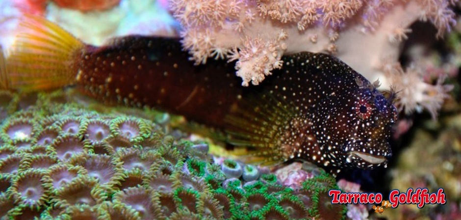 http://www.tarracogoldfish.com/wp-content/uploads/2013/08/Salarias-Ramosus-1.jpg