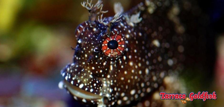 http://www.tarracogoldfish.com/wp-content/uploads/2013/08/Salarias-Ramosus-2.jpg