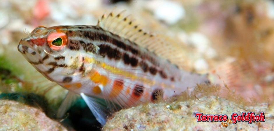 http://www.tarracogoldfish.com/wp-content/uploads/2013/08/Serranus-Baldwini-03.jpg
