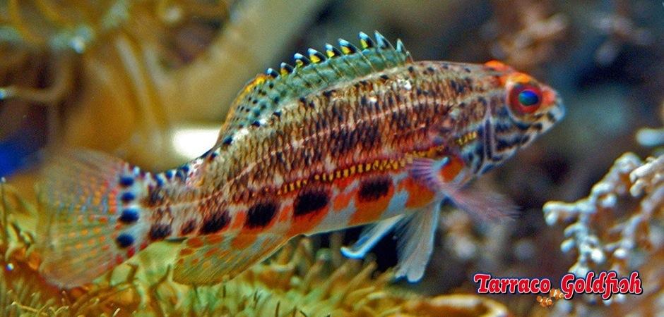 http://www.tarracogoldfish.com/wp-content/uploads/2013/08/Serranus-Baldwini-1.jpg