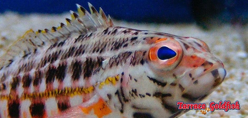 http://www.tarracogoldfish.com/wp-content/uploads/2013/08/Serranus-Baldwini.jpg