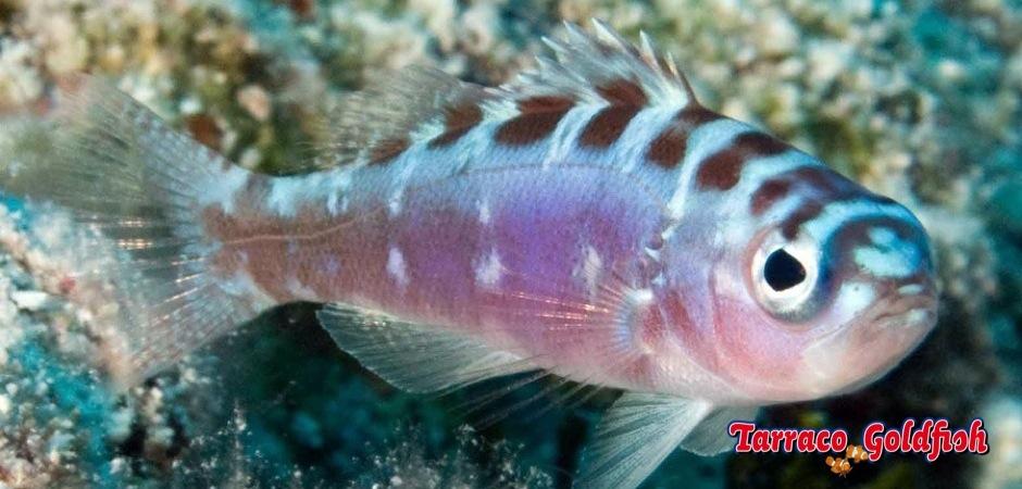 http://www.tarracogoldfish.com/wp-content/uploads/2013/08/Serranus-Tortugarum-01.jpg