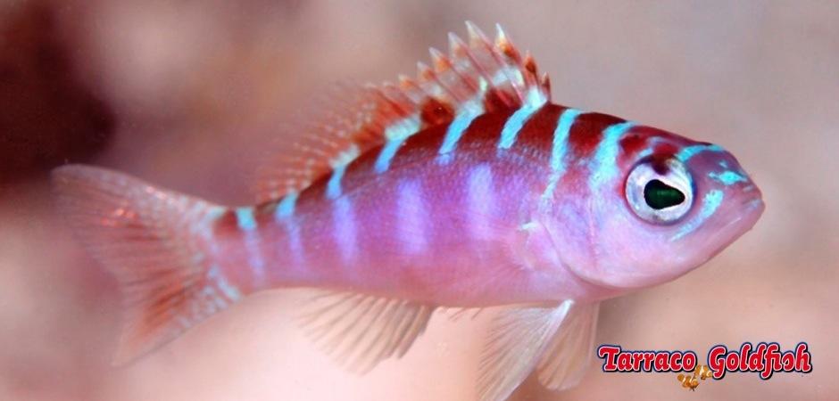 http://www.tarracogoldfish.com/wp-content/uploads/2013/08/Serranus-Tortugarum-04.jpg
