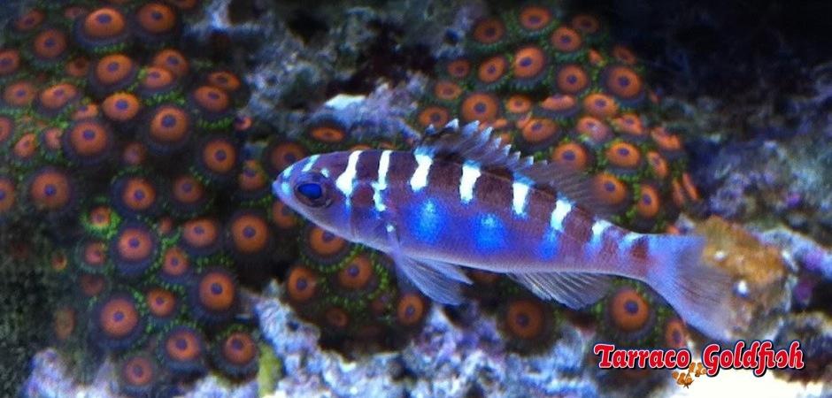 http://www.tarracogoldfish.com/wp-content/uploads/2013/08/Serranus-Tortugarum-3.jpg