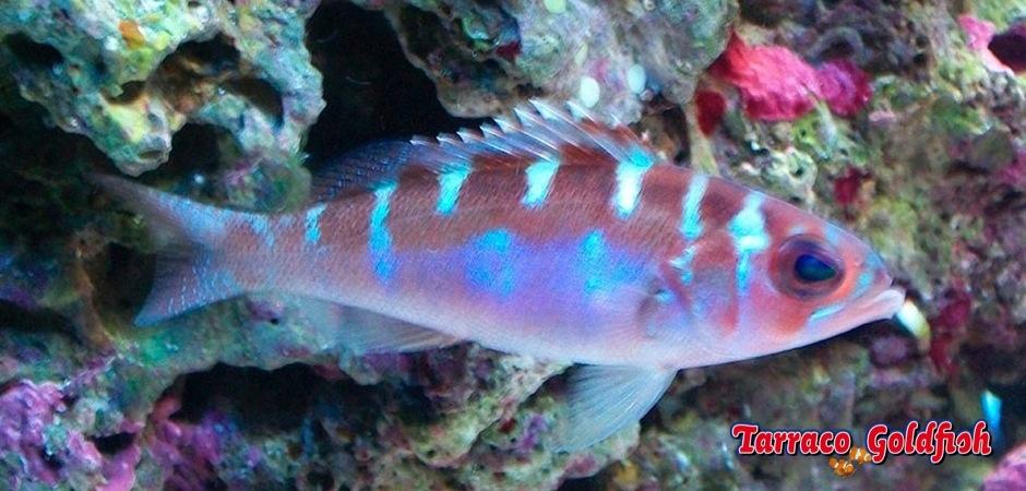 http://www.tarracogoldfish.com/wp-content/uploads/2013/08/Serranus-Tortugarum-4.jpg