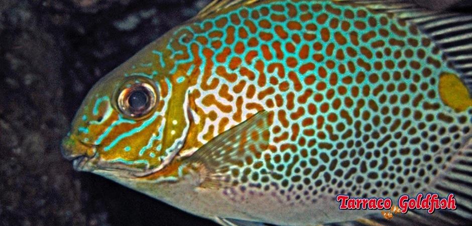 http://www.tarracogoldfish.com/wp-content/uploads/2013/08/Siganus-Guttatus-02.jpg