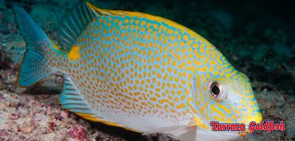 http://www.tarracogoldfish.com/wp-content/uploads/2013/08/Siganus-Guttatus-1.jpg