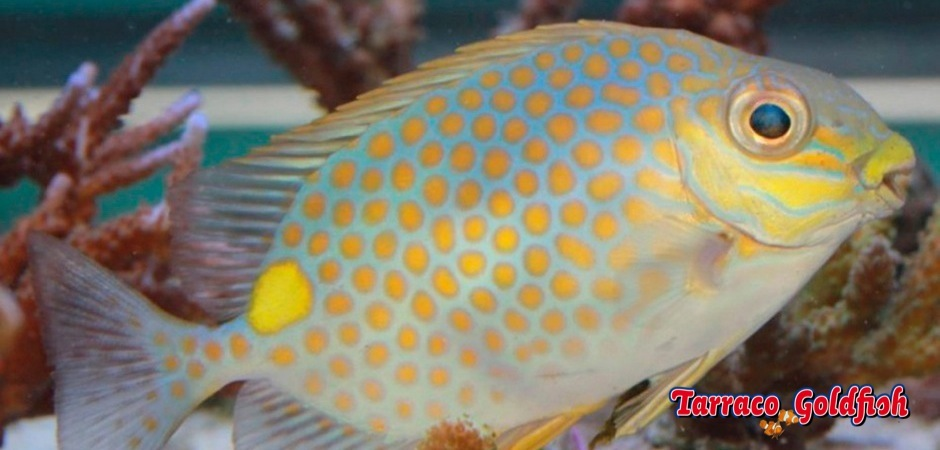http://www.tarracogoldfish.com/wp-content/uploads/2013/08/Siganus-Guttatus-2.jpg
