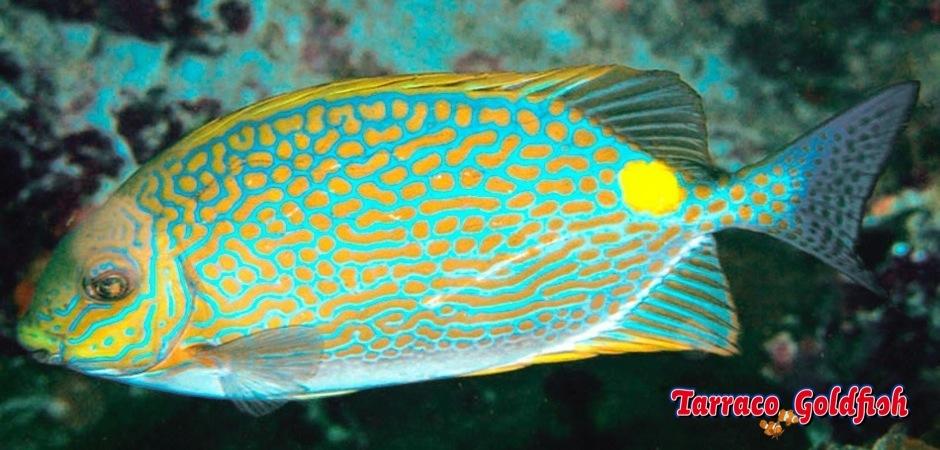 http://www.tarracogoldfish.com/wp-content/uploads/2013/08/Siganus-Guttatus-3.jpg
