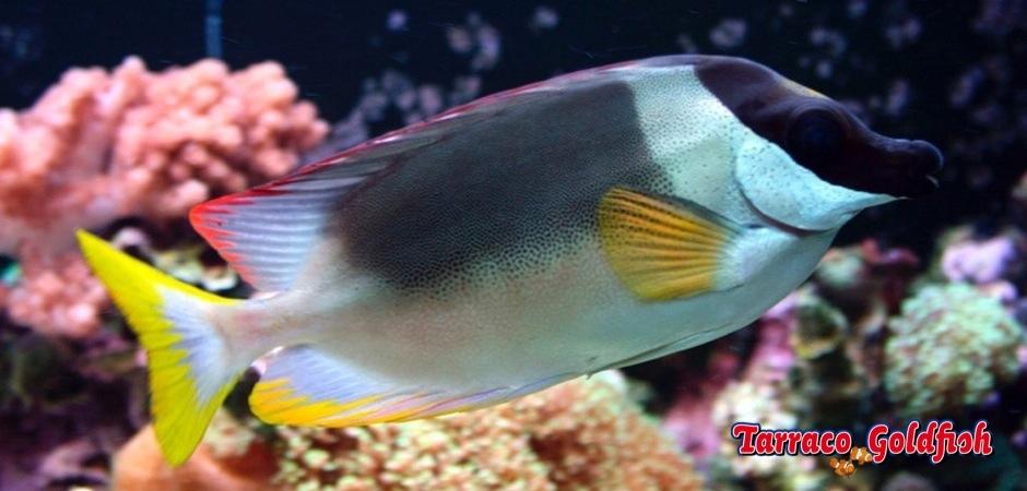 http://www.tarracogoldfish.com/wp-content/uploads/2013/08/Siganus-Magnificus-02.jpg