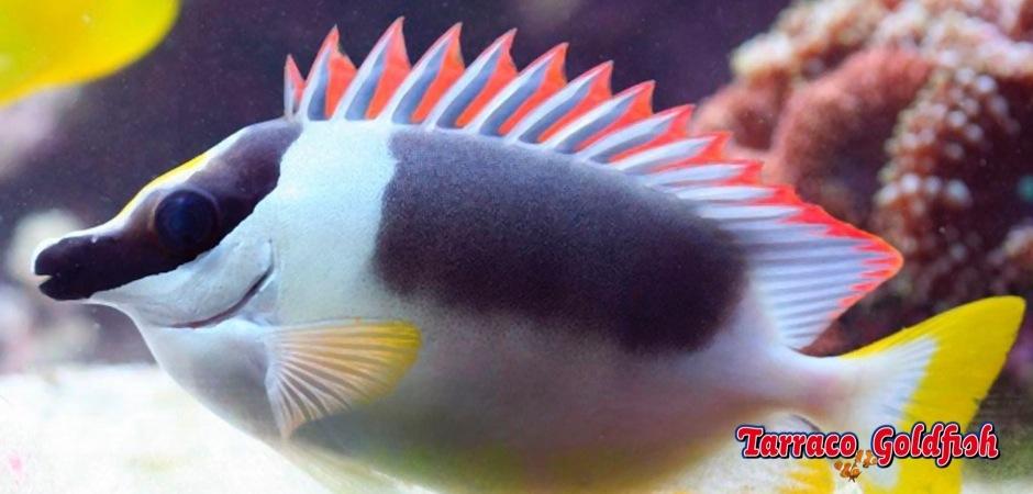 http://www.tarracogoldfish.com/wp-content/uploads/2013/08/Siganus-magnificus-1.jpg