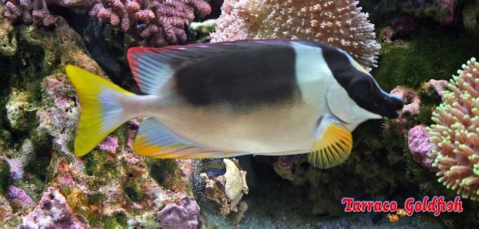 http://www.tarracogoldfish.com/wp-content/uploads/2013/08/Siganus-magnificus-11.jpg