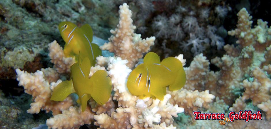 gobidon citrinus 2 Tarraco Goldfish