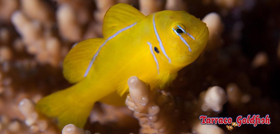 http://www.tarracogoldfish.com/wp-content/uploads/2013/08/gobiodon-citrinus-3-Tarraco-Goldfish.jpg