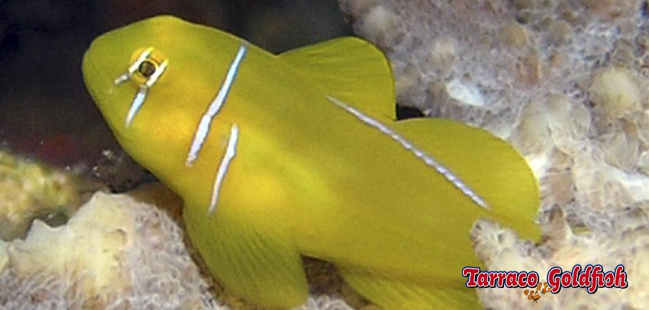 http://www.tarracogoldfish.com/wp-content/uploads/2013/08/gobiodon-citrinus-Tarraco-Goldfish.jpg