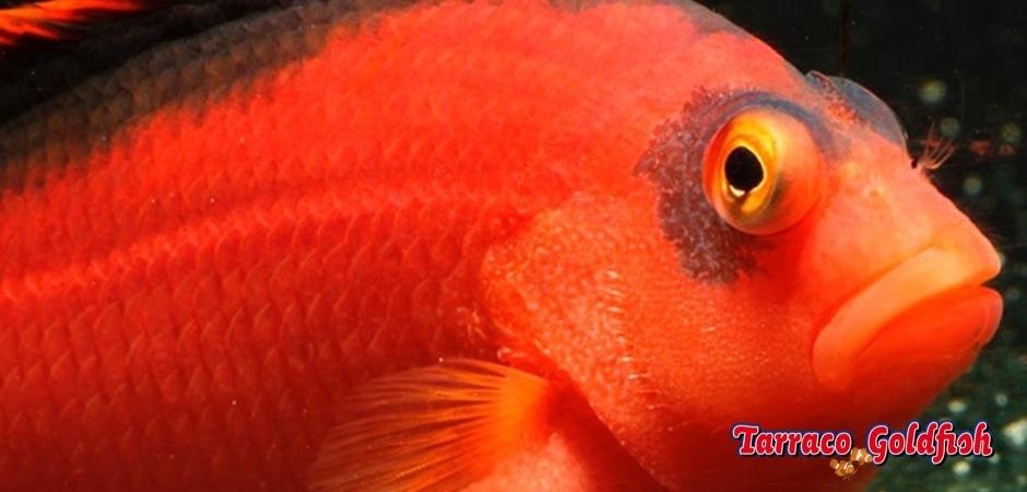 http://www.tarracogoldfish.com/wp-content/uploads/2013/08/neocirrhites-armatus.jpg