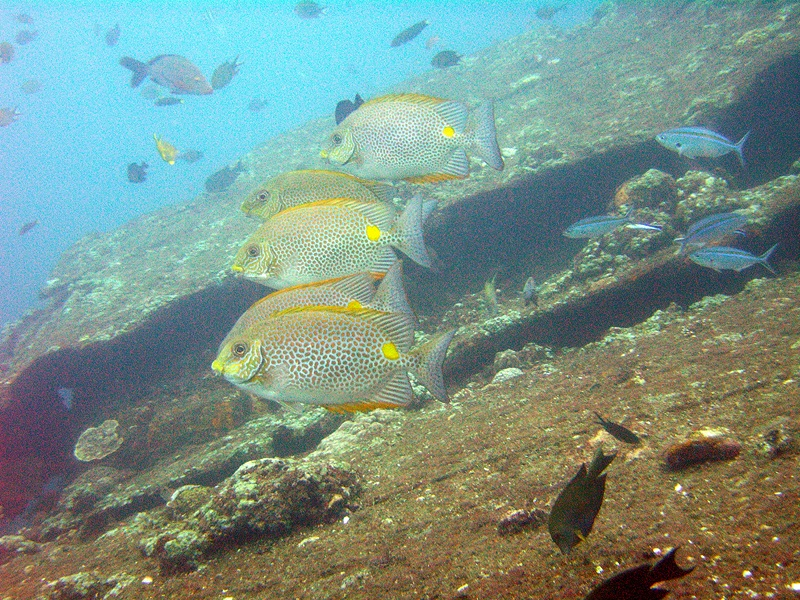 siganus-guttatus Tarraco Goldfish 2