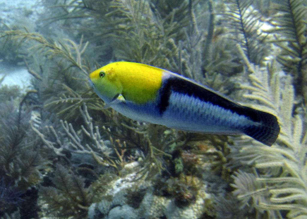 yellowhead-wrasse-halichoeres-garnoti-small-pic-only
