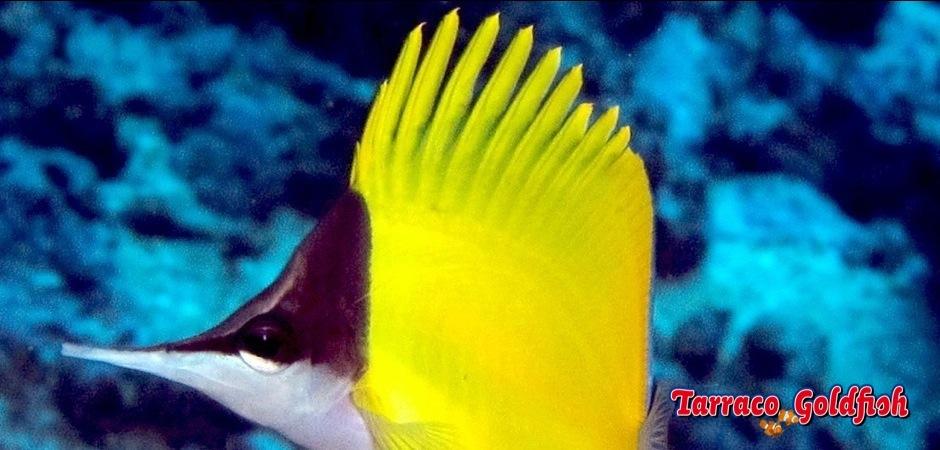 http://www.tarracogoldfish.com/wp-content/uploads/2013/09/Forcipiger-Flavissimus1.jpg