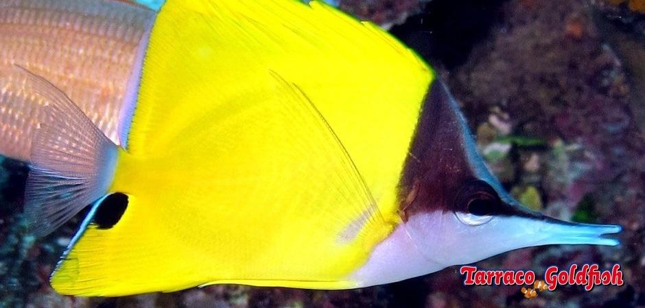 http://www.tarracogoldfish.com/wp-content/uploads/2013/09/Forcipiger-Flavissimus2.jpg