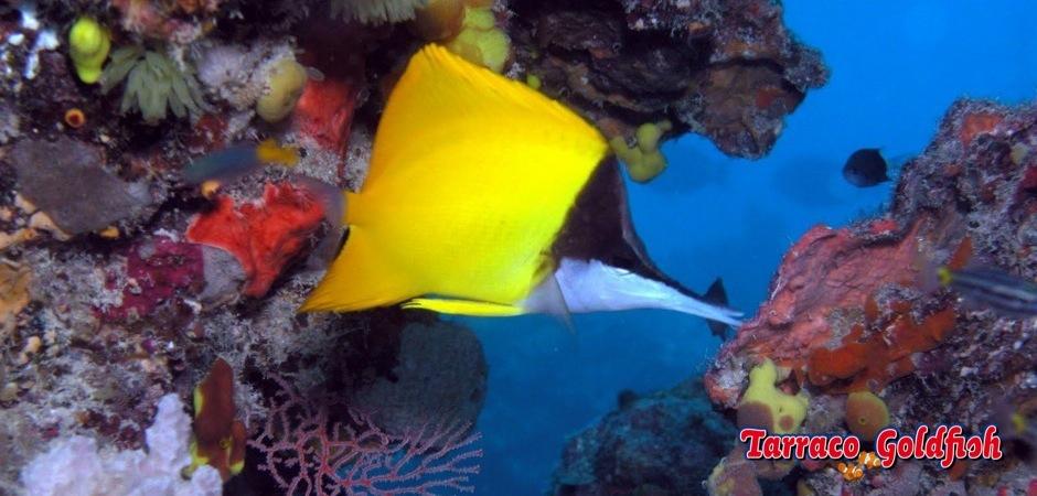 http://www.tarracogoldfish.com/wp-content/uploads/2013/09/Forcipiger-flavissimus31.jpg