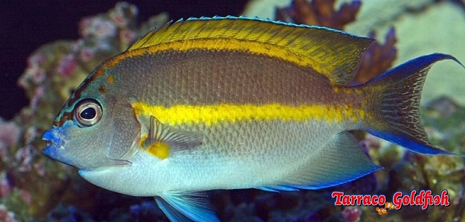 http://www.tarracogoldfish.com/wp-content/uploads/2013/09/Genicanthus-Bellus-Angelfish-male.jpg