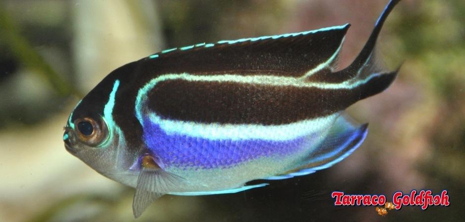 http://www.tarracogoldfish.com/wp-content/uploads/2013/09/Genicanthus-Bellus-female.jpg