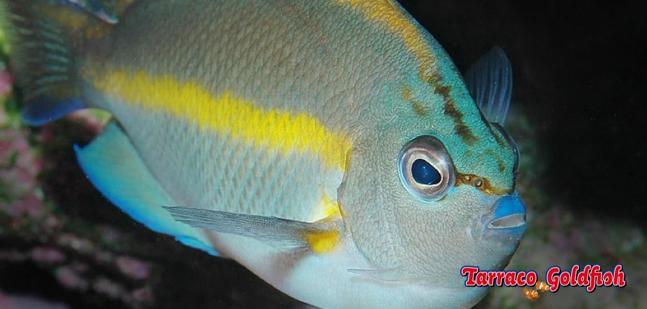 http://www.tarracogoldfish.com/wp-content/uploads/2013/09/Genicanthus-Bellus-male2.jpg