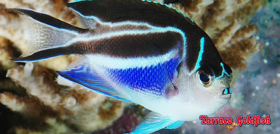 http://www.tarracogoldfish.com/wp-content/uploads/2013/09/Genicantus-bellus-angel-female-11.jpg