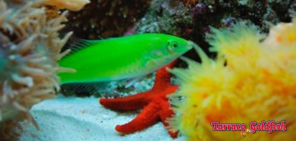 http://www.tarracogoldfish.com/wp-content/uploads/2013/09/Halichoeres-Chloropterus1.jpg