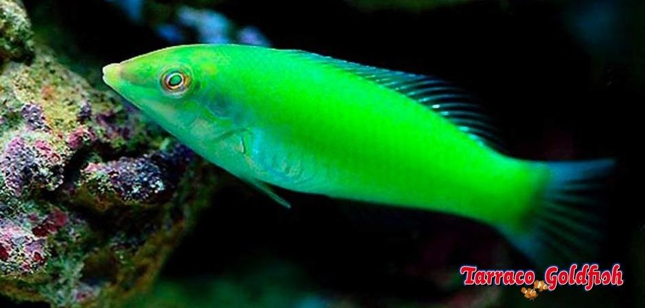 http://www.tarracogoldfish.com/wp-content/uploads/2013/09/Halichoeres-Chloropterus2.jpg