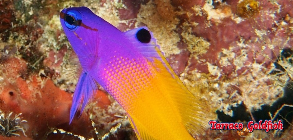 http://www.tarracogoldfish.com/wp-content/uploads/2013/09/gramma-loreto1.jpg